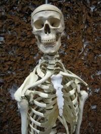 model-of-human-skeleton-head-chest